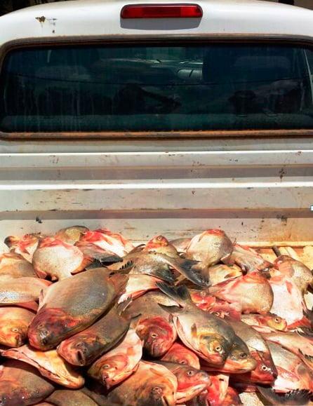 Peixes apreendidos pela Adab em Barreiras | Foto: Divulgação