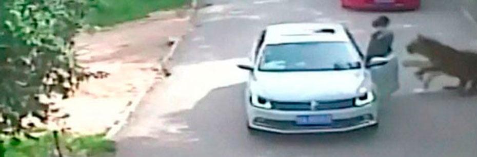 Mulher-morre-e-outra-fica-ferida-em-ataque-de-tigres-na-China-cp-flash