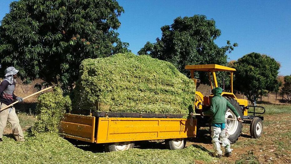 Experiência de produtor com silagem é alternativa para diversificação de culturas no Perímetro Irrigado Estreito, em Urandi (BA)   Foto: Divulgação / Codevasf