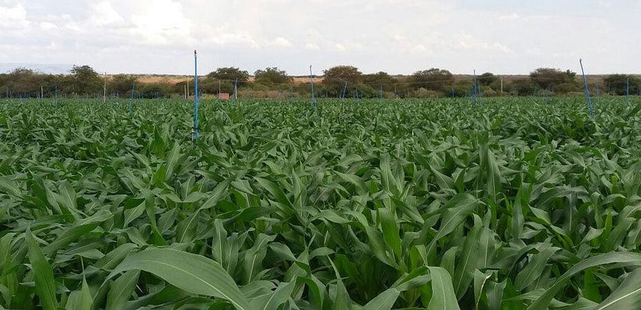 irrigantes-de-projeto-da-codevasf-descobrem-na-silagem-boa-alternativa-de-renda-em-tempos-de-seca-03