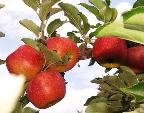 Experimento com novas frutíferas no Vale do São Francisco revela boas perspectivas de cultivo | Foto: Frederico Celente/Codevasf