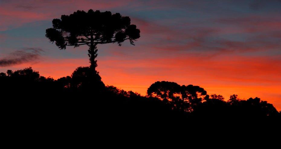 Floresta com Araucárias, que atualmente tem menos de 3% da sua área original | Foto: Haroldo Palo Jr/Fundação Grupo Boticário