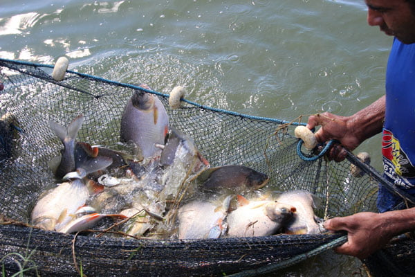 Ações de piscicultura | Foto: Cássio Moreira / Codevasf