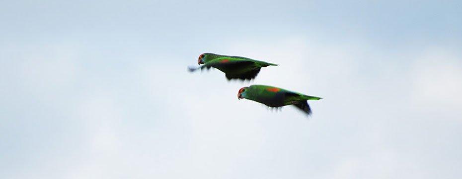 Normalmente, a espécie é vista em casal ou em bandos se alimentando de frutos, sementes e brotos em topos de árvores na Mata Atlântica | Foto: Fabiane Girardi